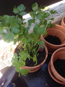 Potting parsley: center the root bulb atop the potting mix foundation and fill in all the empty space with more potting mix, including the top of the root bulb, just under the sprouted leaves of the plant.