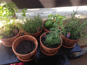 All of my herbs potted and lookin' pretty!
