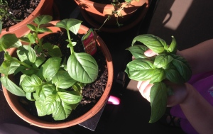 Our sweet basil harvest.